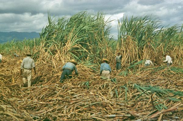 sugarcane puerto rico