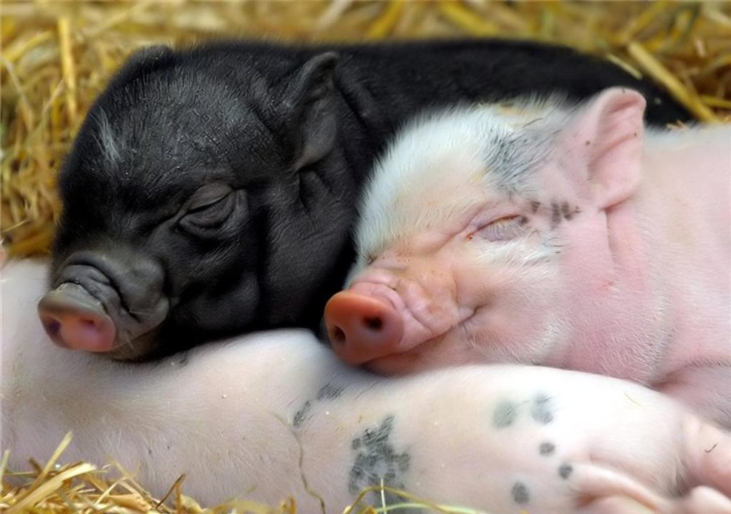 happy pigs