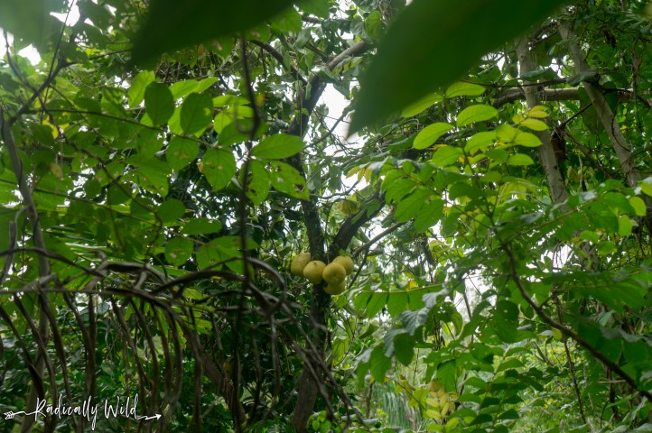 puerto rico food forest